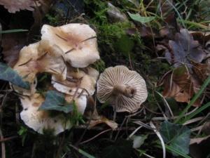 Hygrophorus nemoreus, Hygrophore des bois, Bois Bas-Semnoz (Sevrier, 74), ©Photo Didier Hamerel