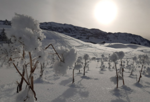 Berces dans leurs gangues glacées dans la plaine de Dran