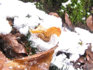 Girolle dans la neige