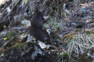 Sciurus vulgaris, Écureuil roux, 31 mars 2021, Autour de l'Arve (Chamonix, 74), ©Photo Alain Benard