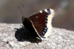Nymphalis antiopa, Morio (Le), 31 mars 2021, Arve (Chamonix, 74), ©Photo Alain Benard
