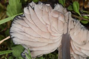 Entoloma corvinum, Entolome couleur de corbeau, La Sapinière (Fillière, 74), ©Photo Alain Benard